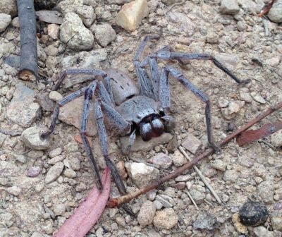 We evicted this spider from our caravan