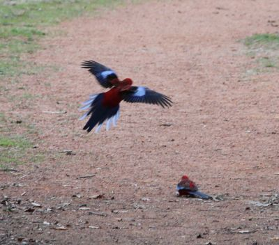Palmerville parrots