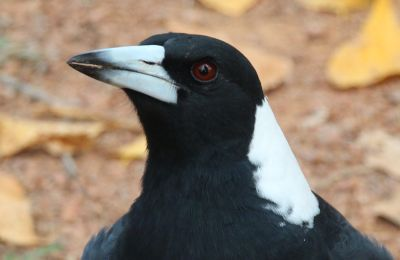Magpie at Palmerville
