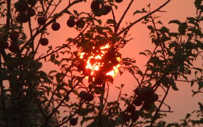 Blood sunrise through the plum tree