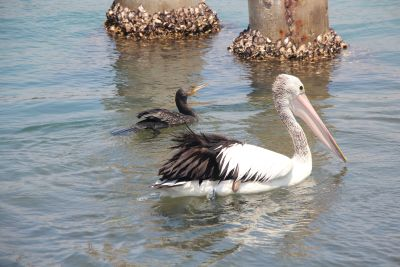 Pelican at Greenwell Point