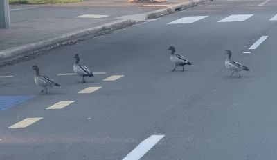 Why did the ducks cross the road?