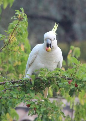 Cockatoo eating the plums
