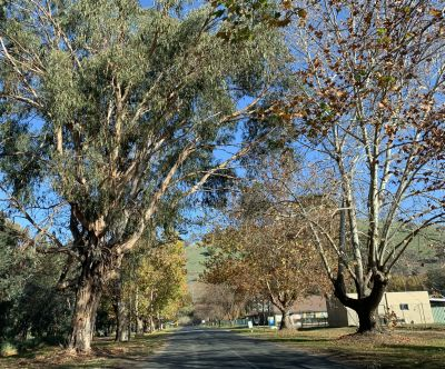 Pretty trees at Gundagai