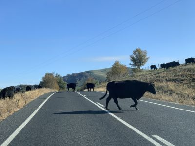 Cows on Nangus Road