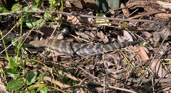Blue tongue in the back yard