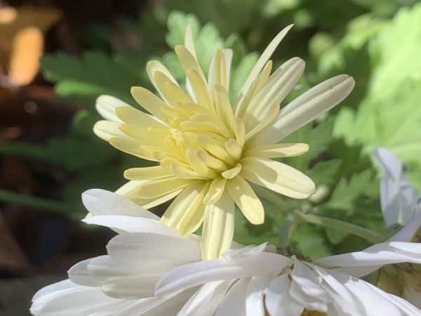 Last of the chrysanthemums