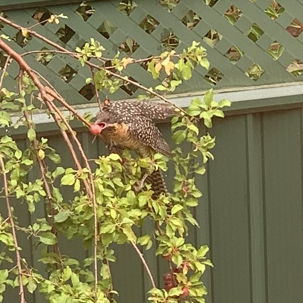 Koel in our yard