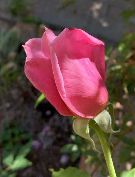 Late rose
