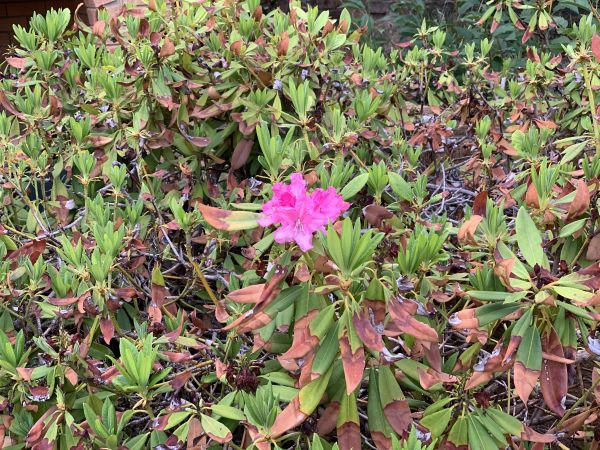 Lonely rhododendron flower