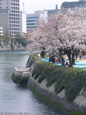 Cherry blossoms on the river bank