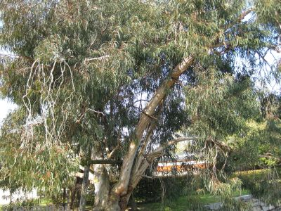 This eucalypt survived the atomic blast