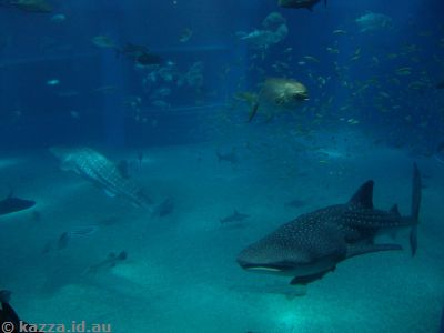 The two whale sharks