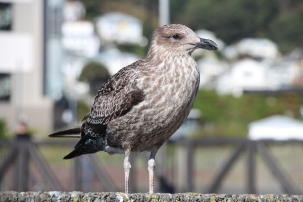 Young gull by the waterside