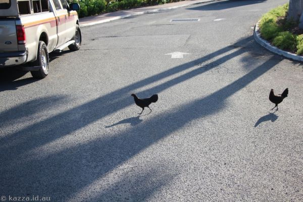 Why did the chickens cross the road?