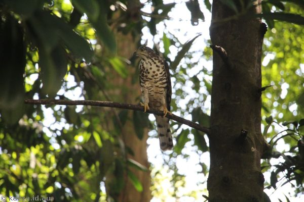 Bird of prey in Fort Canning Park