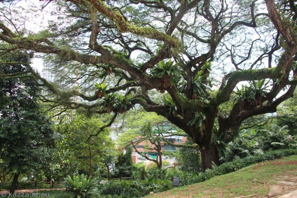 Rain Tree in Fort Canning Park
