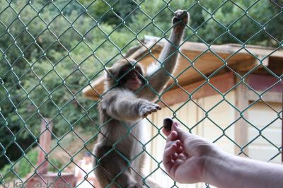 Monkeys at Iwatayama Monkey Park