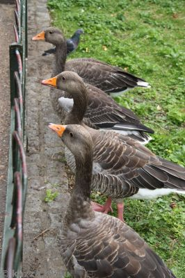 Geese in St James's Park