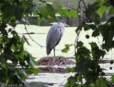Heron in St James's Park