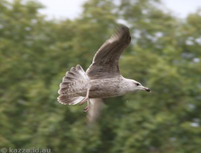 Seagull in St James's Park