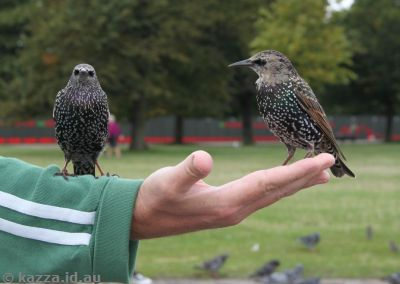 Starlings in Kensington Gardens