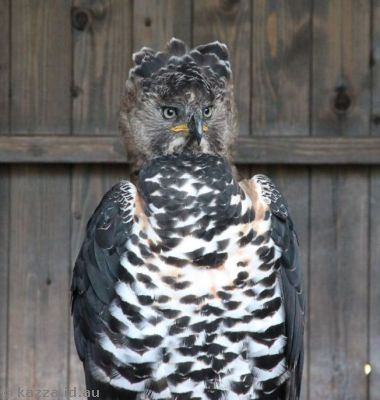 Victoria, the Crowned Eagle, a new arrival at the castle