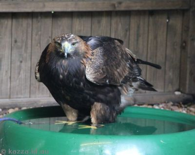 This Golden Eagle is having a bath