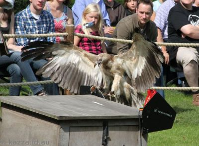 Young Palm Nut Vulture in the falconry show