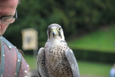 Peregrine Falcon in the falconry show