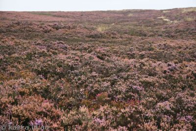 The moors are all in flower, turning them pink