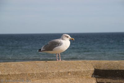 Seagull at Lyme Regis